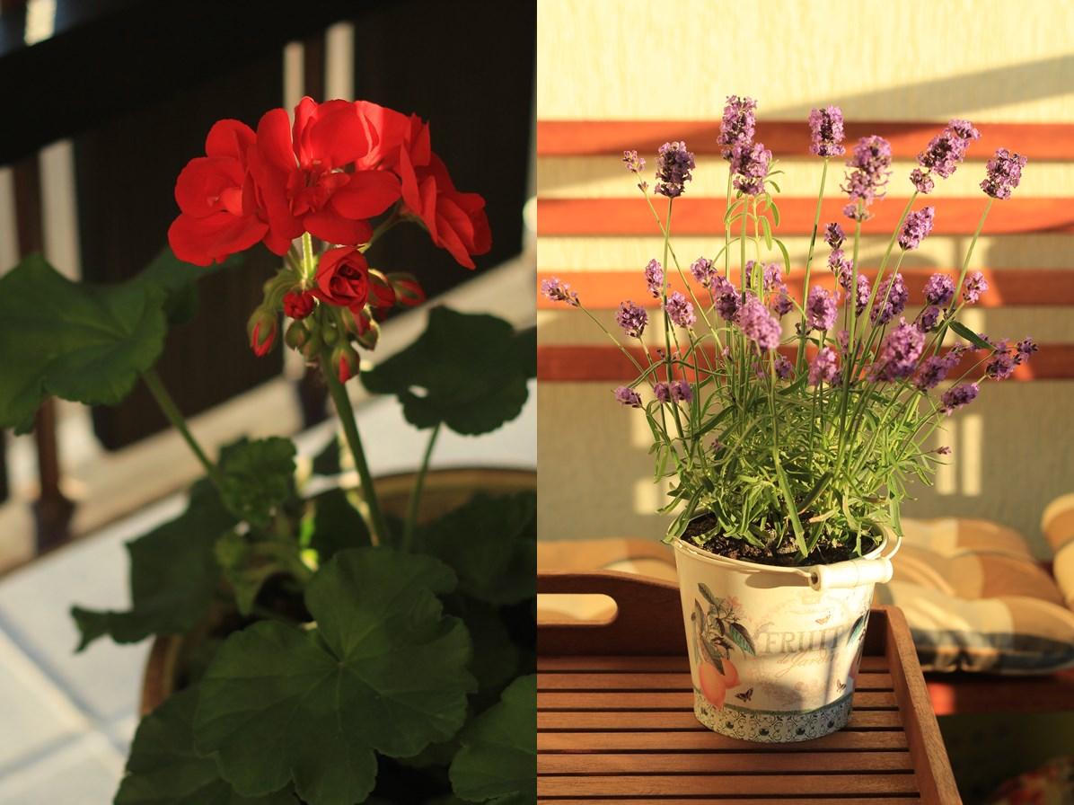 kwiaty_balkonowe